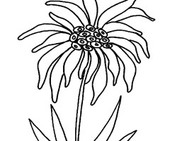Coloriage Edelweiss