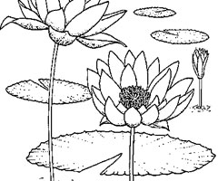 Coloriage N�nuphar
